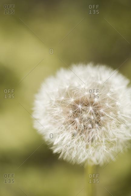 Dandelion in a field close up