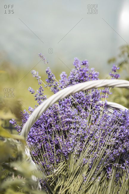 Basket filled with lavender in a field