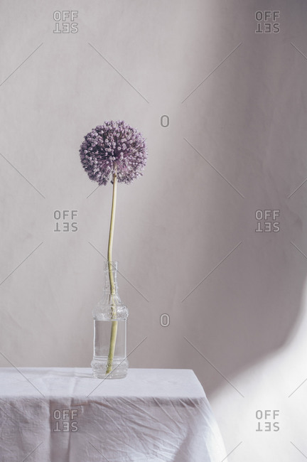 Single onion flower in a vase on a table