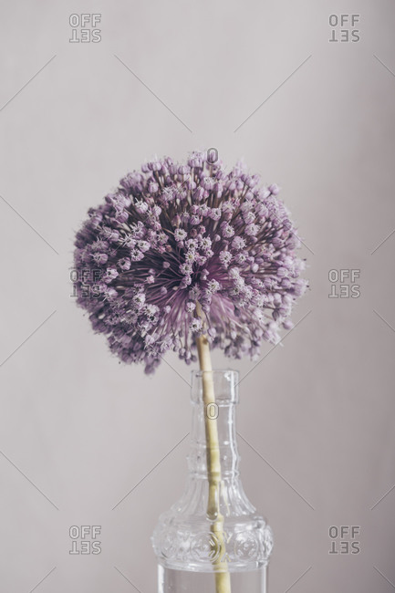 Close up of a single onion flower in a vase on the table
