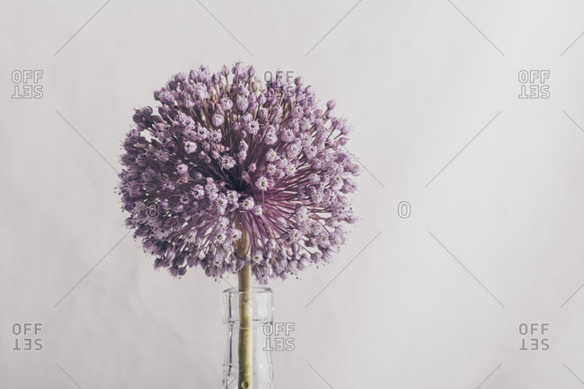 Single onion flower in a vase close up with light background