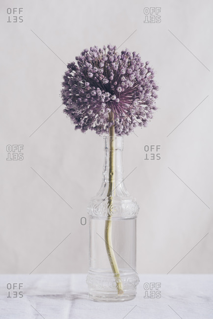 Glass vase with a single onion flower on a white tablecloth