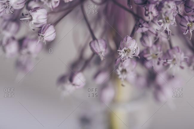 Detail of a purple onion flower petals