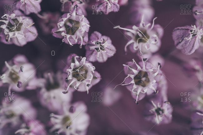 Extreme close up of a purple onion flower