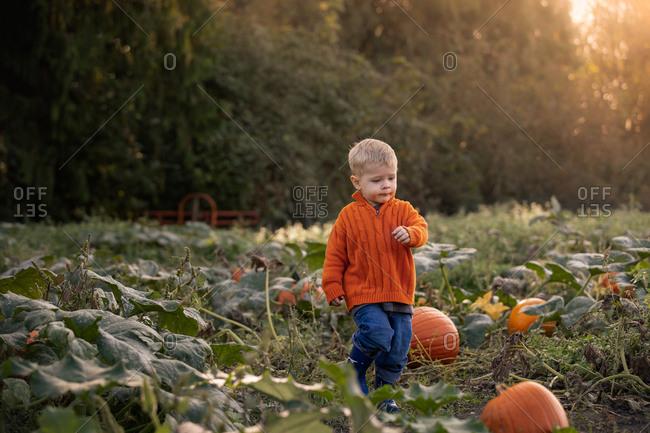 Toddler boy wearing orange sweater walking through a pumpkin patch in autumn at sunset