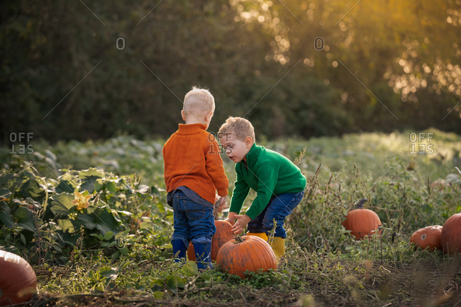 Two little boys picking out pumpkins on a farm