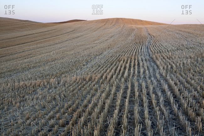 Natural pattern, rows of stubble after harvest in open farmland, prairie