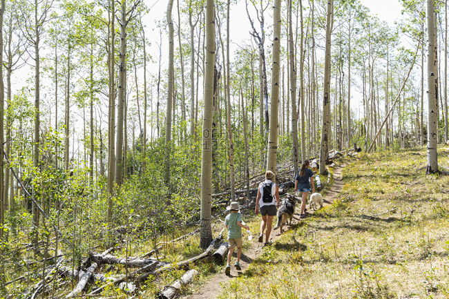 Family hiking in forest of Aspen trees
