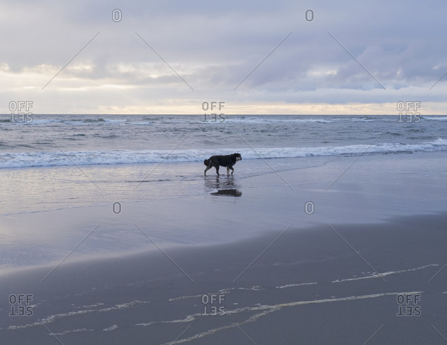 Dog on a beach at the water's edge at low tide.