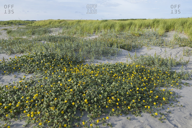Sea grasses and wildflowers on sand dunes.