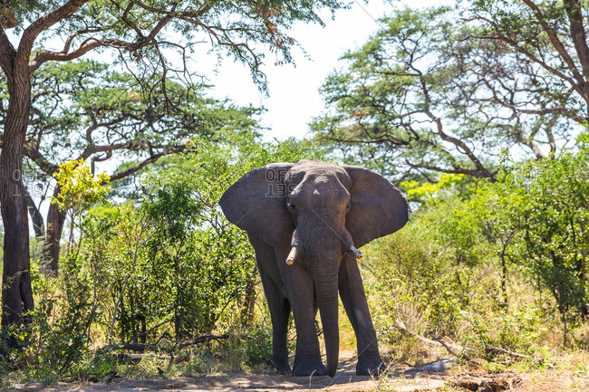 African elephant standing on dirt track in the Chobe National Park, Botswana.
