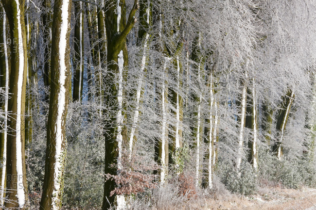 Woodland covered in snow and frost, Gloucestershire, UK.