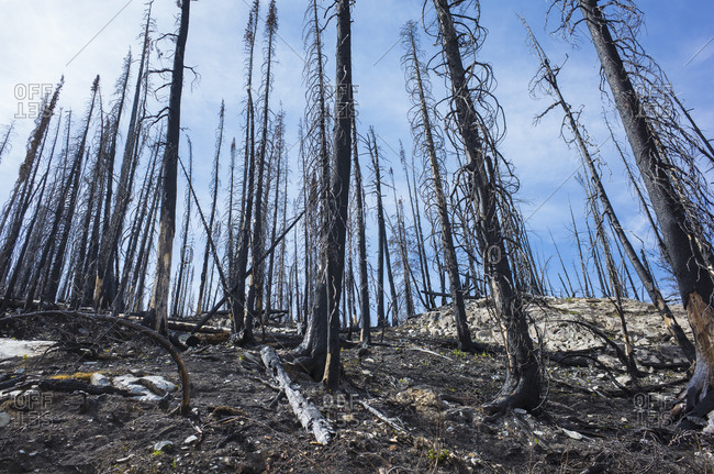 Fire damaged trees and forest along the Pacific Crest Trail