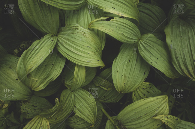 False hellebore or Corn lily, dark green veined leaves