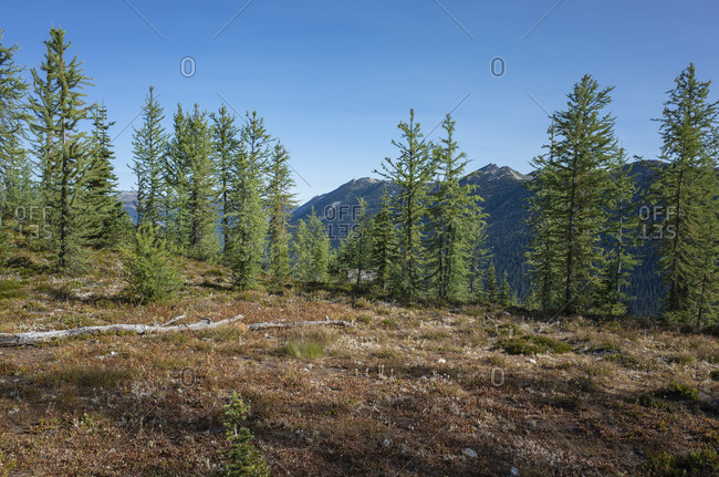 Remote alpine meadow and larch in Fall, along the Pacific Crest Trail