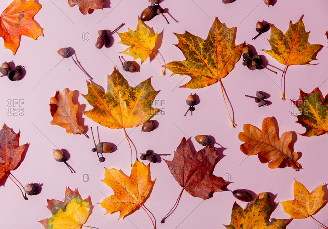 Maple leaves and acorns on pink background