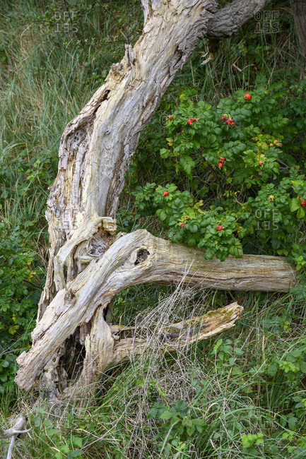 Weathered tree trunk with dog rose bush and red fruits (rose hips).