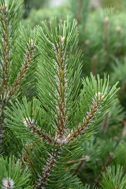 Mountain pine (Pinus mugo) a species of pine (Pinus).