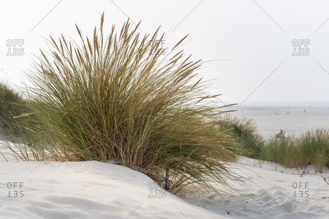 Germany, Lower Saxony, East Frisia, Juist, beach grass (Ammophila) genus of plants from the sweet grass family (Poaceae).