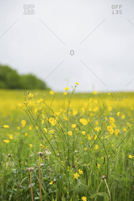 Buttercup Wildflowers in Field, Grey Sky