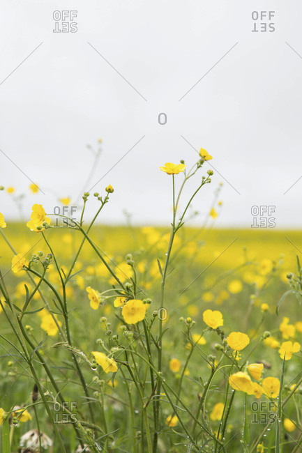 Close-Up of Buttercup Wildflowers in Field