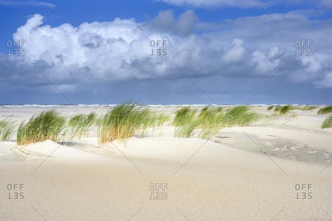 Germany, Lower Saxony, East Frisia, Juist, beach grass (Ammophila) in the wind.