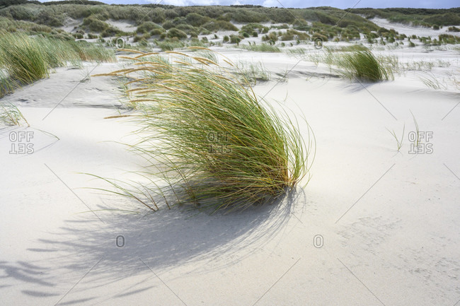 Germany, Lower Saxony, East Frisia, Juist, beach grass (Ammophila) in the wind.