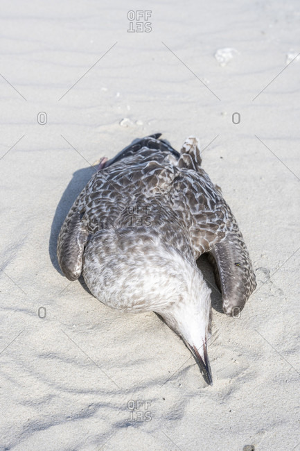 Germany, Lower Saxony, East Frisia, Juist, dead seagull on the beach.