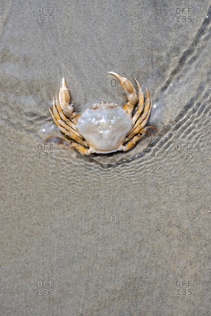 Germany, Lower Saxony, East Frisia, Juist, Common beach crab (Carcinus maenas), also called beach crab.