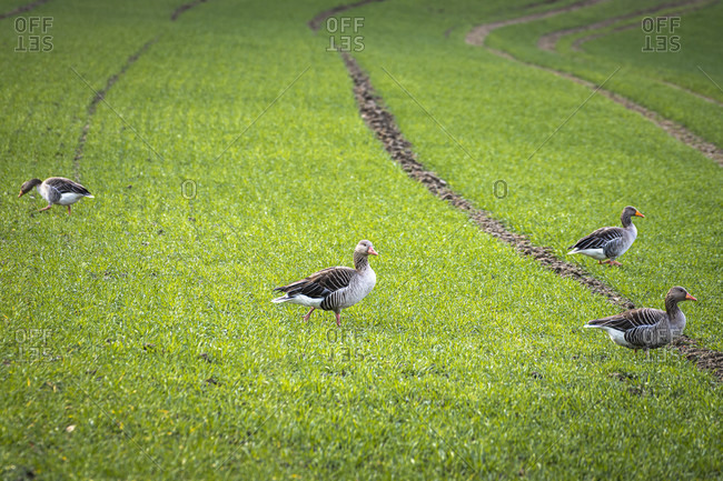 Greylag geese, field geese, Anser anser, duck birds, goose birds, Sigmaringen, Baden-Wuerttemberg, Germany, Europe