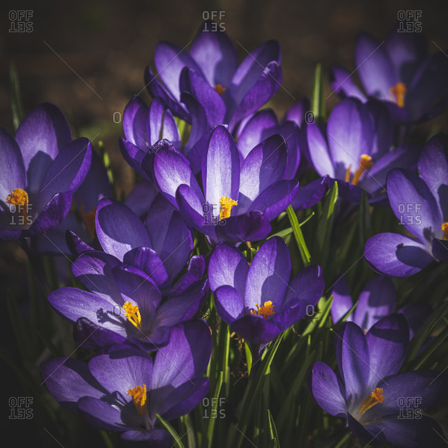 Crocuses, crocus, iris family, Swabian Alb, Baden-Wurttemberg, Germany, Europe