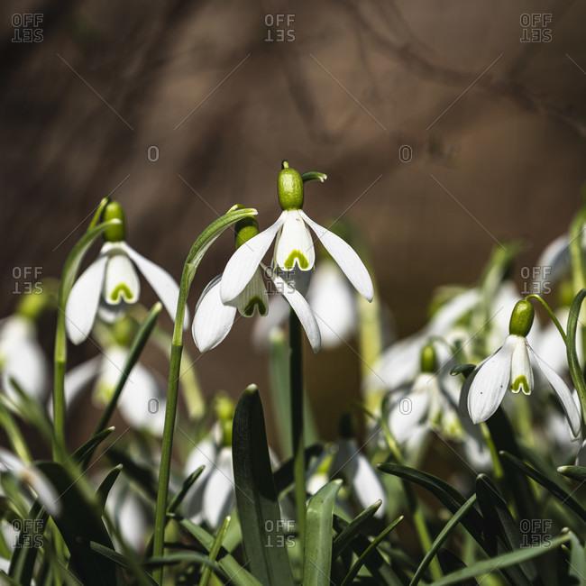 Snowdrops, Galanthus, Amaryllis, Swabian Jura, Baden-Wuerttemberg, Germany, Europe