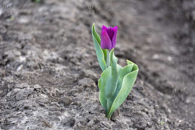 Single purple tulip in the ground