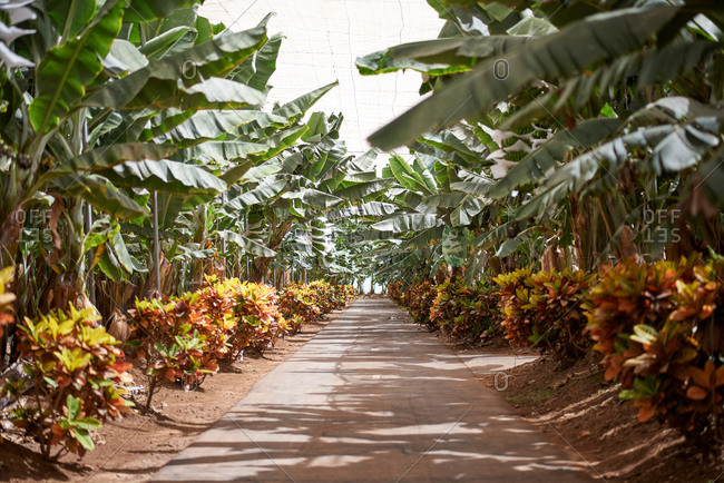 Banana trees with green leaves growing along path in tropical garden in summer