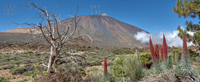 Majestic panoramic view of Teide National Park with blossoming red tajinaste plants on background of amazing mountain under blue sky