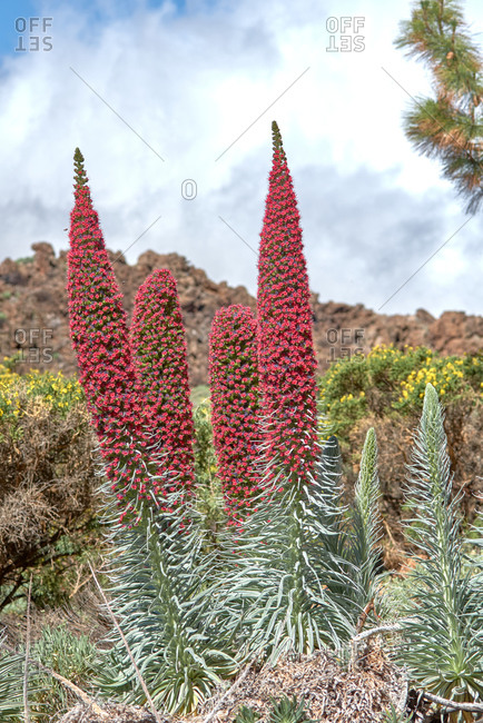 Majestic view of Teide National Park with blossoming red tajinaste plants on background of amazing mountain under blue sky