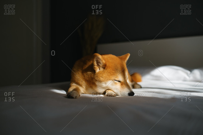 Adorable red Shiba Inu dog sleeping peacefully under warm sunlight on cozy bed