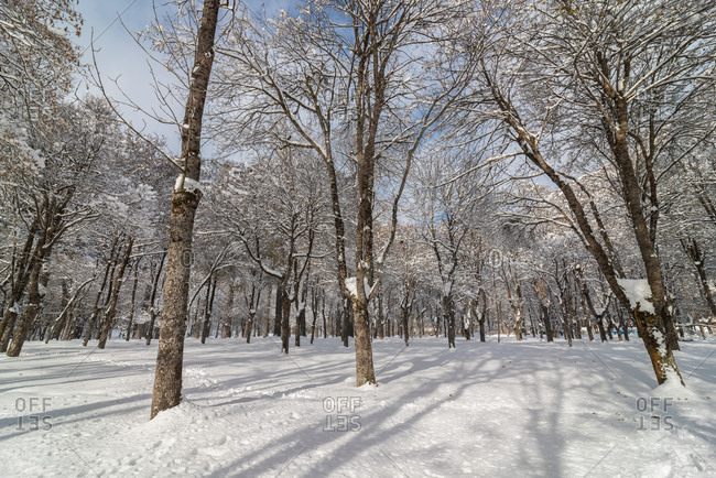 Leafless frosted trees covered with white pure snow in winter woods