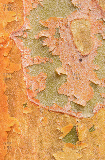 Close up textures in the bark of a Stewartia monadelpha tree a relative of the camellia