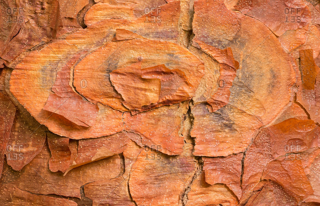 Macro photograph of the patterns and textures in the bark of a Paperbark Maple (Acer griseum)