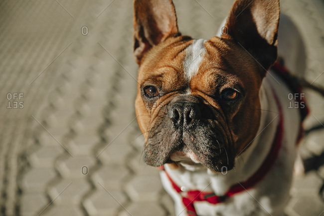 Adorable serious brown and white French Bulldog with red collar standing on pavement and looking at camera