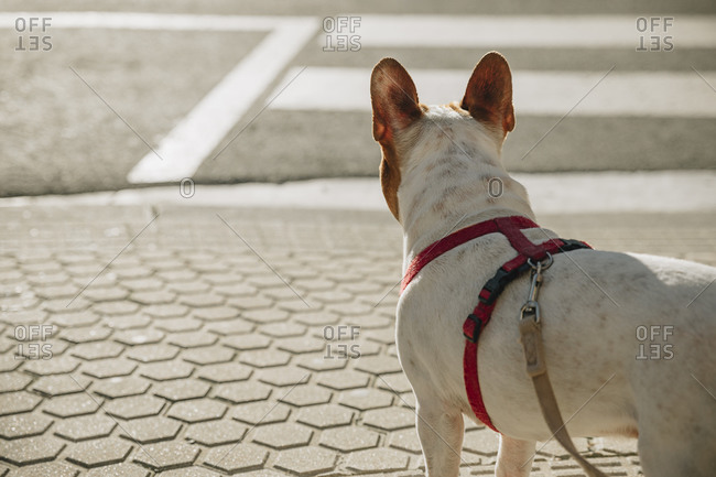 Back view brown and white French Bulldog with red collar standing on pavement and looking away