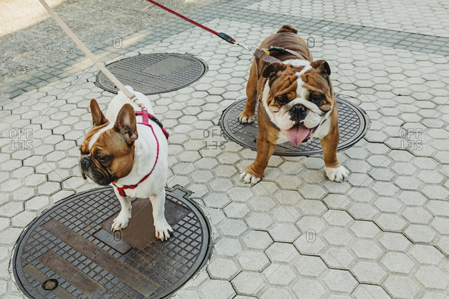 High angle of cute puppy of English Bulldog and French Bulldog with leashes standing on paved street