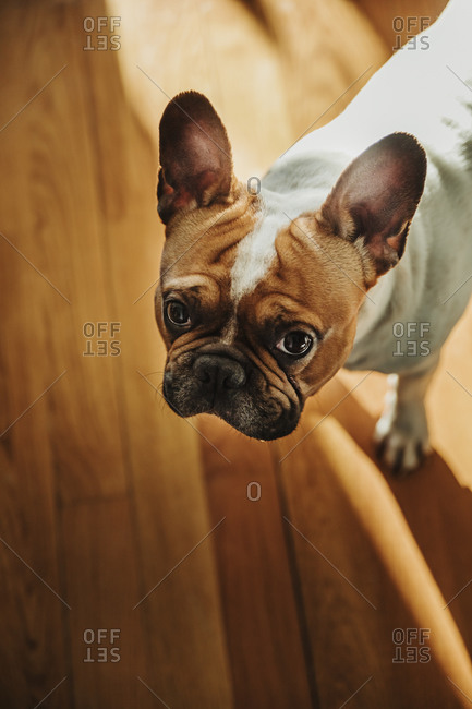 From above of cute purebred brown and white puppy of English Bulldog with tongue out standing on wooden floor