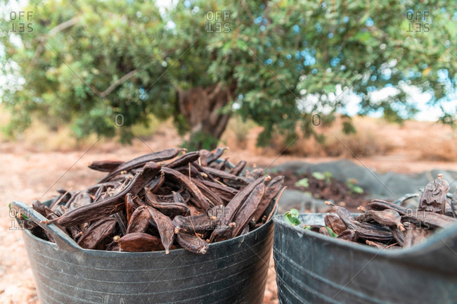 Closeup of metal buckets full of freshly harvested ripe brown carob pods in farm