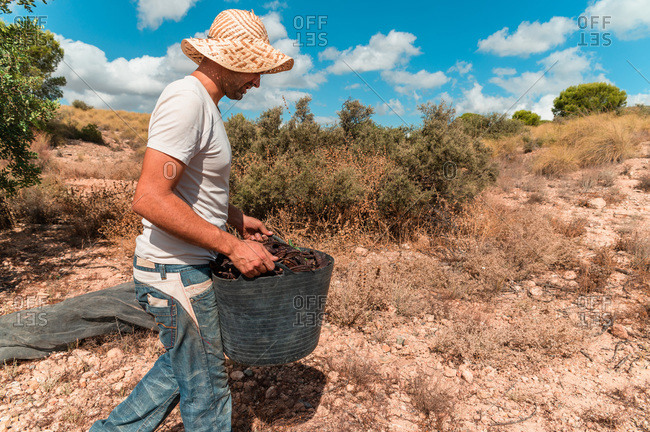 Side view of male farmer in hat carrying full basket of ripe carob pods while harvesting in countryside