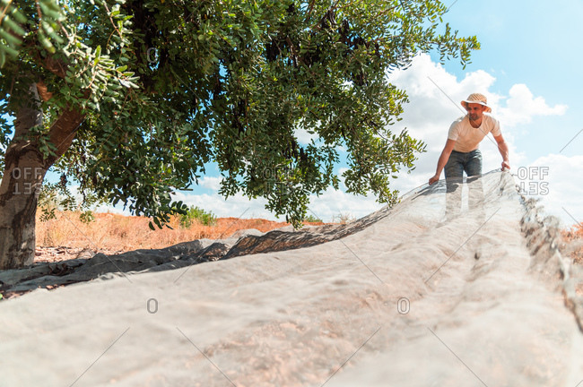 Male farm worker spreading large canvas under carob tree branches while preparing for collecting pods
