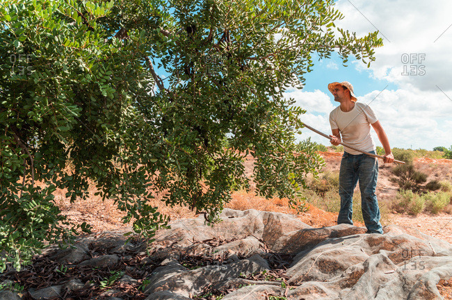 Side view of male farm worker hitting carob tree branches with wooden stick while collecting ripe pods during harvesting season in summer day in countryside