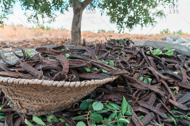 Pile of ripe carob pods on canvas placed under tree during harvesting season in countryside