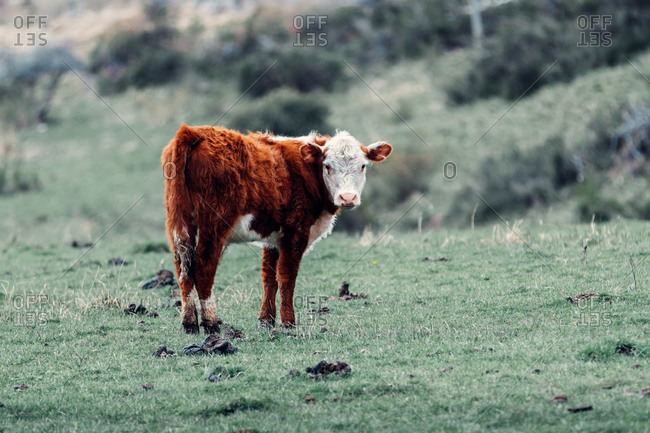 Fluffy adorable cow pasturing in green lawn in Patagonia while looking at camera